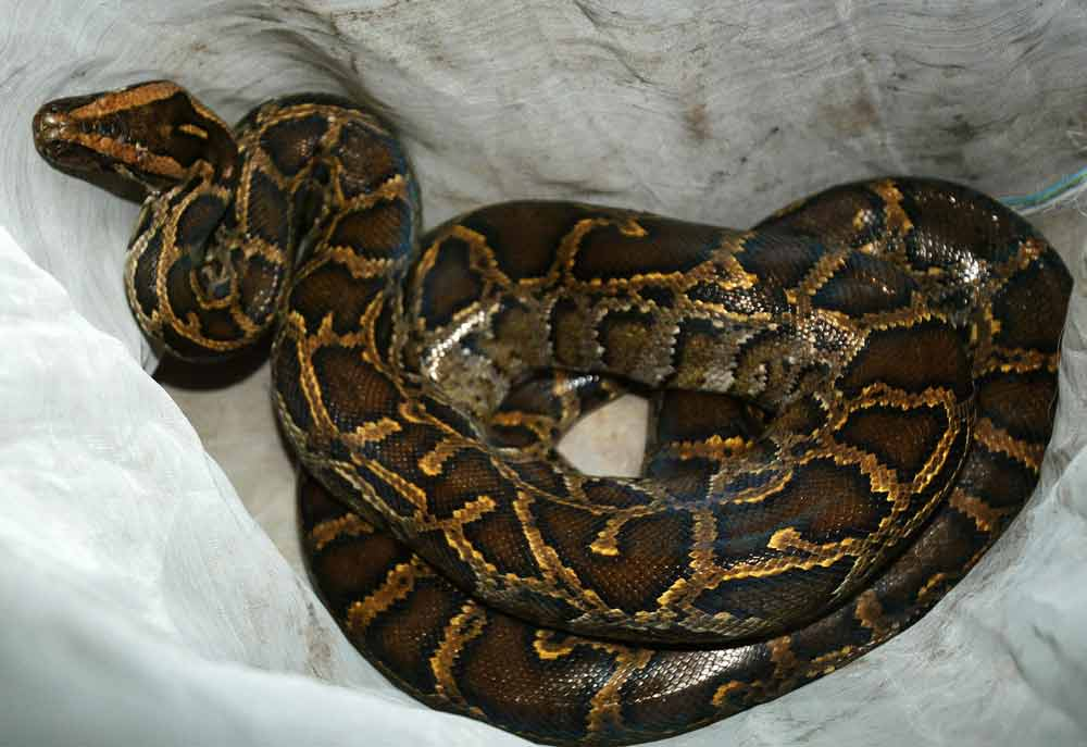 40 pythons discovered in Canada hotel room