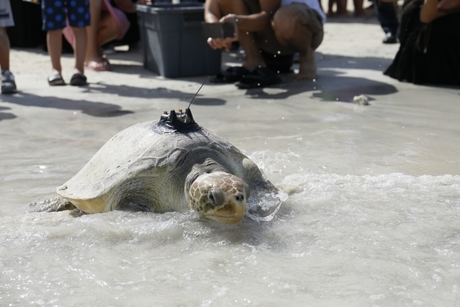 Jumeirah Al Naseem releases more than 70 rescued turtles