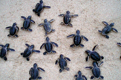 Nice to sea you: Baby turtles released in Oman