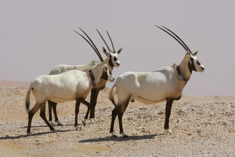 Oman looks to boost ecotourism with Oryx sanctuary