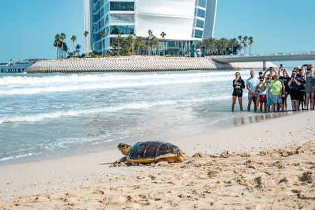 Jumeirah Hotel group releases 60 rescued, rehabilitated turtles