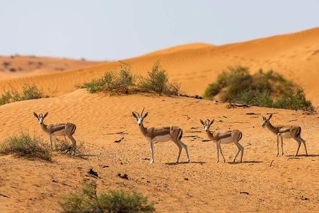 80 gazelles now part of The Ritz-Carlton Ras Al Khaimah, Al Wadi Desert
