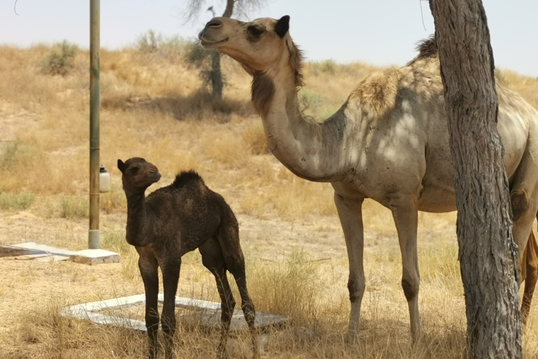 Baby camel welcomed at The Ritz-Carlton Ras Al Khaimah, Al Wadi Desert