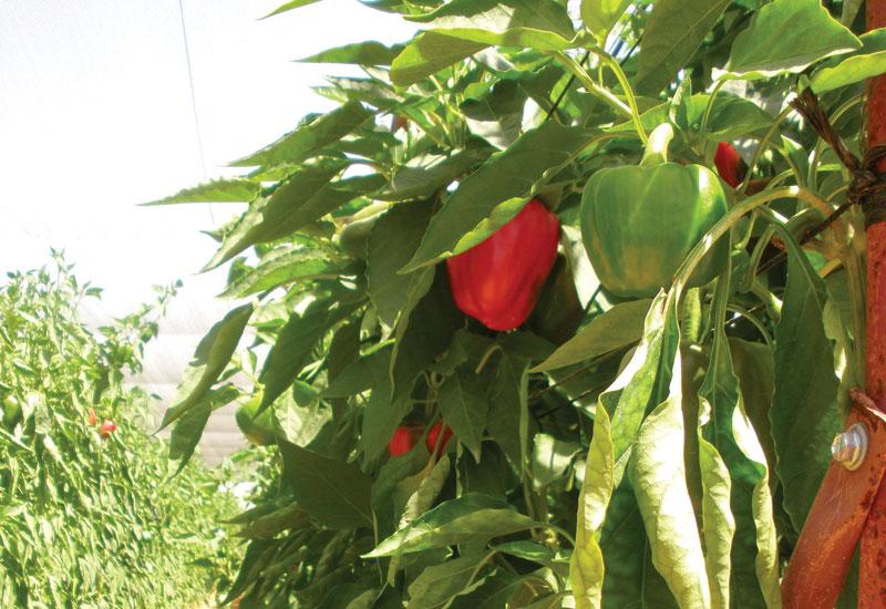 Pepper plants. [Salata Farms]