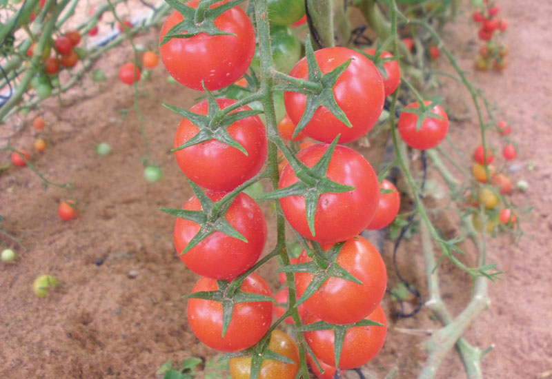 Tomato vines. [Salata Farms]