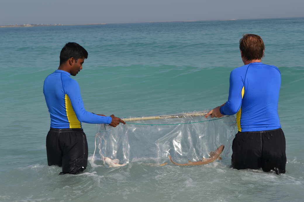15 Arabian carpet sharks and two honeycomb stingrays were released into the ocean at the Jebel Ali Wetland Sanctuary