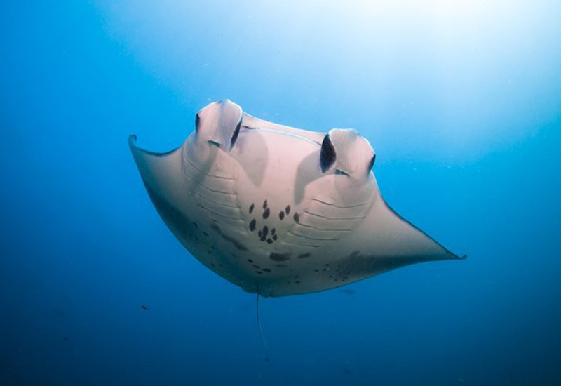 Manta rays are promised to feature