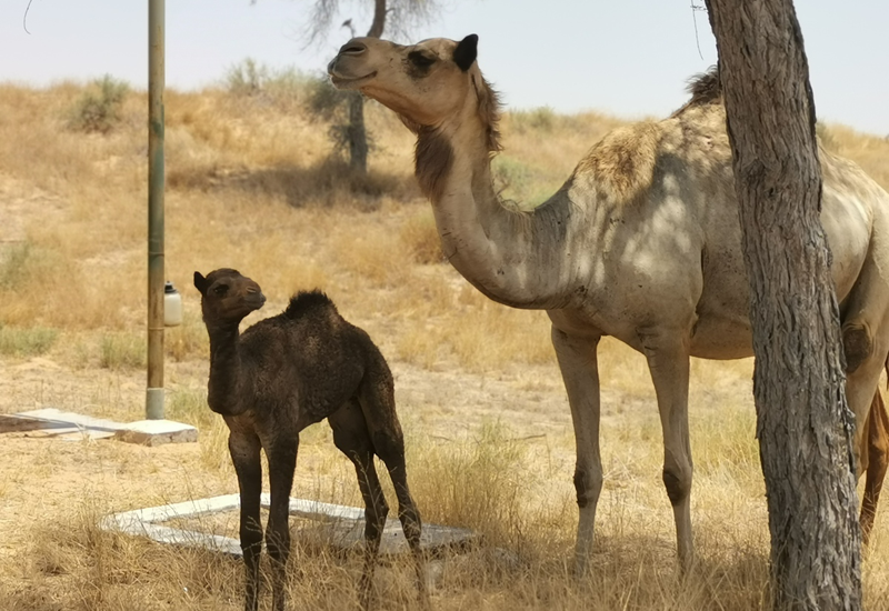 The baby camel and its mother